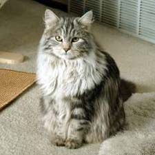 Siberian cats are HYPOALLERGENIC--without being bald!  (I suspect this does not mean that they don't shed all over everything).