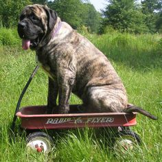 "The breed is commonly referred to as the ""Mastiff"". Also known as the English Mastiff this giant dog breed gets known for its splendid, good natu Brindle English Mastiff, Old English Mastiffs, English Mastiff Puppies, Tibetan Mastiff, Mastiff Breeds, Mastiff Dogs, Giant Dog Breeds, Giant Dogs, Cane Corso"