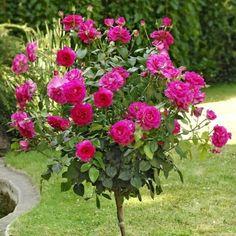 1000 images about haie on pinterest saint tropez roses. Black Bedroom Furniture Sets. Home Design Ideas