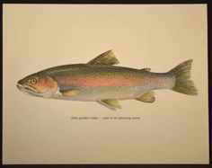 Freshwater Fish of the Northeast Poster  11x17 inch print by