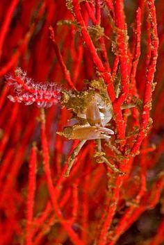 Crab underwater. Channel Islands National Park, California.