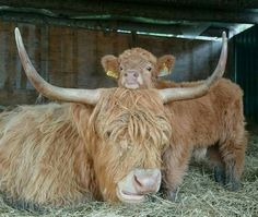 We've gathered our favorite ideas for Heilan Coos Cuteness Cute Animals Baby Animals Animals Explore our list of popular images of Heilan Coos Cuteness Cute Animals Baby Animals Animals. Scottish Highland Cow, Highland Cattle, Cute Baby Animals, Animals And Pets, Funny Animals, Wild Animals, Beautiful Creatures, Animals Beautiful, Zebras
