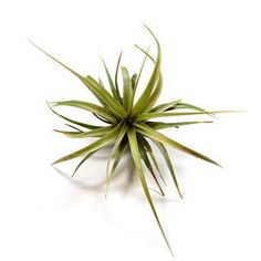 great website to order air plants in bulk!  to give as flavor and to use as decoration