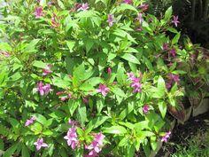 purple shooting star (pseuderanthemum laxiflorum)