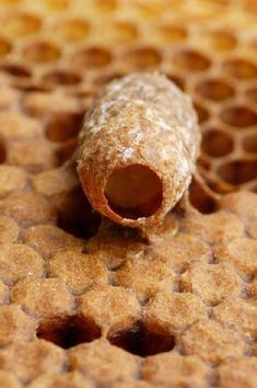 A perfectly symmetrical royal cell hangs head down from a comb. This cell has not yet been sealed by the bees and one can see a six day old larva exclusively feeding on royal jelly. #beekeepingchecklist #beekeepingideas #raisingbees
