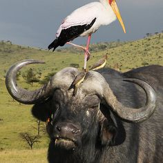 CAPE BUFFALO - KENYA