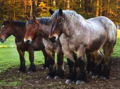 Belgian horses.. big and strong