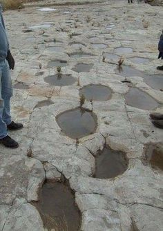 dinosaur tracks that turned to stone in Picketwire Canyonlands near LaJunta CO USA Dinosaur Tracks, Dinosaur Fossils, Walking With Dinosaurs, Turn To Stone, Prehistoric Creatures, Beautiful Rocks, Rocks And Minerals, Natural History, Archaeology