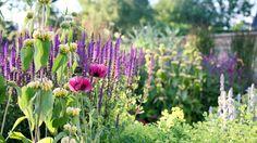 Pink poppies and purple salvias - Marcus Barnett - Landscape and Garden Design