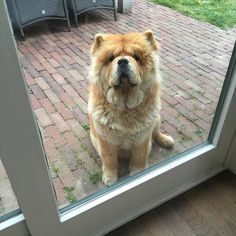 Let me in... I need to go back out again! #chowchow #chowlife #chowlovers #instachow #instadogs #adorimals #animalsaddict #dogs_of_world #doglover #mydogiscutest #bear #lion #cutepetclub #please #wannagoin #wannagoout #lacyandpaws #cuteeyes by chow_chow_moos