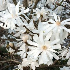 Magnolia stellata Royal Star - Double Starry Flowers