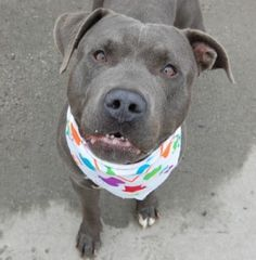 TO BE DESTROYED 12/10/15***NEW HOPE ONLY*** EXPERIENCE RATED ** Snork is a young year old pup who had an interesting turn of events, he was a stray who had a finder that really liked him, but then an incident with a co worker occurred. A bite happened but without much information or backup from a reliable source. Snork entered the ACC of NYC with minimal information. On the bright side Snork was easy to handle at intake. His SAFER behavior exam went quite well, he did a good job. The…