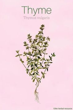 Thyme Uses and Health Benefits as a Medicinal Herb Thyme Thymus vulgaris Thyme Plant, Herbs For Health, Healthy Herbs, Herbal Plants, Medicinal Plants, Natural Herbs, Natural Healing, Herbal Remedies, Vegetable Gardening