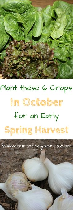 You can still get these 6 crops planted in your vegetable garden this fall. Get them planted now for an early spring harvest.