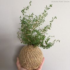 Oh little miss, it's thyme you had a wee trim! Thyme does like a bit of a pruning, which easily happens as you go when using it in your cooking! Thyme is also believed to aid digestion, and thyme tea is said to relieve sore throats! I've never experimented with that myself, has anyone tried it?