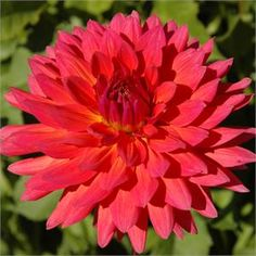 Fire Magic dahlia.  This is still one of my favorites!  Unbelievable range of hues.  From Swan Island Dahlias in Oregon.   http://www.dahlias.com/firemagic-item432.aspx