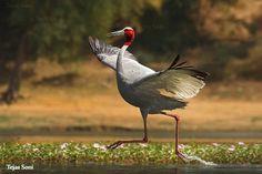 sarus crane - water dance