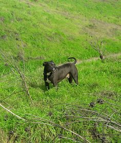 Panther, Dogs, Animals, Beautiful, Animales, Animaux, Panthers, Pet Dogs, Doggies
