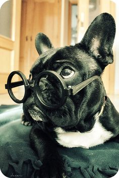 Quizzical Frenchie