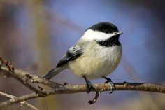 MASSACHUSETTS Chickadee (aka black-capped chickadee). Adopted 1941.Official Birds of Every State