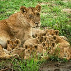 animals Family liondefinitely liondefinitely Buy best lion merch,LINK IN BIO. Big Cats, Cats And Kittens, Cute Cats, Lion Pictures, Animal Pictures, Daily Pictures, Beautiful Cats, Animals Beautiful, Cute Baby Animals