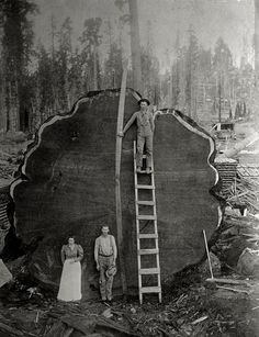 Loggers in California with the felled giant 'Mark Twain redwood', 1892