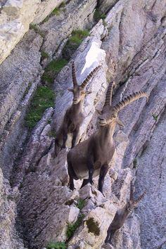 Ibeks, Vanil Noir, Switzerland Copyright: Georges Bachmann Amazing Animal Pictures, Wild Animals Pictures, Animal Games, Animal 2, Animal Magnetism, Fluffy Cat, Wild Ones, Beautiful Creatures, Animals Beautiful
