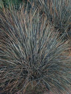 Blue on pinterest for Ornamental grass that looks like wheat
