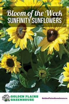 Bloom of the Week: Sunfinity Sunflowers Planting Sunflowers, Clear Blue Sky, Bright Yellow, Dream Garden, 3 Weeks, Joyful, My Dream, Outdoor Living, Landscaping