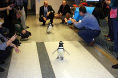 It was a VIP welcome for Pete & Penny, Magellanic Penguins, as their Southwest Airlines flight touched down at ORF Tuesday afternoon. The penguins traveled from their home at Sea World San Antonio to Busch Gardens Williamsburg where they will appear at Christmas Town's Ice Palace: A Penguin Paradise, in France. In its 5th season, Busch Gardens' Christmas Town is filled with more than 6 million lights, trees & other holiday decor. Open for the holiday season from November 22 - December 31.