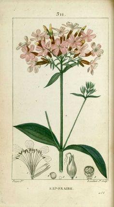 img/dessins-gravures de plantes medicinales/saponaire, savonniere.jpg
