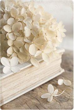 Creamy white hydrangea flower on book White Flowers, Beautiful Flowers, White Hydrangeas, Simply Beautiful, Cream Flowers, Tiny Flowers, Beautiful Beach, Beautiful Ladies, Absolutely Gorgeous