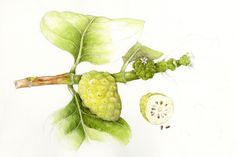 Noni/Indian Mulberry. Morinda citrifolia. These illustrations by Wendy Hollender appear on signage at the National Tropical Botanical Garden on Kauai to illustrate the canoe plants in their gardens.
