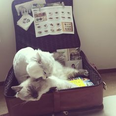 Plum plum xoxo#cats #kitten #lovecats #ragdoll #chinchilla #Persian #kitten #meow #lovecat
