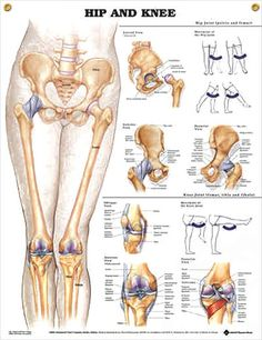 Hip and Knee anatomy poster provides detail on the hip joint with lateral, anterior and posterior views.