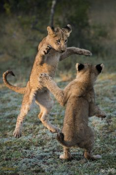 Dancing Cubs © Ranger Diaries / Calvin KotzeLocation: Ulusaba Private Game Reserve  Description:  Two cubs play as the first rays of morning sun emerge