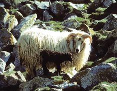 Icelandic Size: medium Appearance: range of colors from white to brown to grey to black; some have patterns such as badgerface; short-tailed; Horns: most horned, some naturally polled Fleece: a soft, lustrous undercoat with a long, coarse outer coat Breeding: seasonal Lambing rate: 170-180 percent Behavior: alert, almost wild; rams can be dangerous; poor flocking instinct; good browsers and strong mothering instinct Use: milk, meat, fleece Origin: Iceland Environment: suitable for cool…
