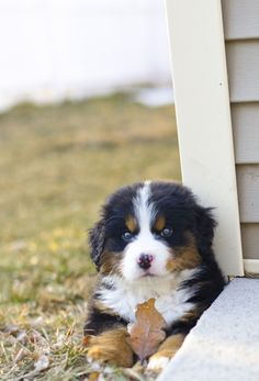 Awesome cute dogs detail are available on our internet site. look at this and you wont be sorry you did. Cute Baby Dogs, Cute Dogs And Puppies, Pet Dogs, Doggies, Beautiful Dogs, Animals Beautiful, Burmese Mountain Dogs, Swiss Mountain Dogs, Animals And Pets