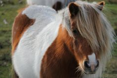 Wild ponies in Lymington and the New Forest, UK