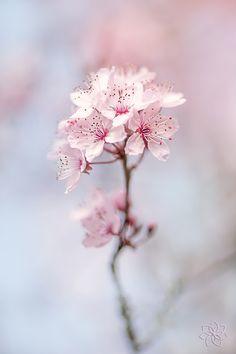 ~~Spring Cherry Blossom by Jacky Parker~~