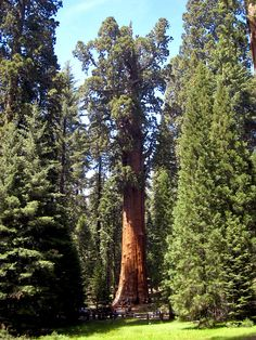 The General Sherman is a Giant sequoia (Sequoiadendron giganteum) tree located in the Giant Forest of Sequoia National Park in Tulare County, California. By volume, it is the largest known living single stem tree on Earth. >> http://en.wikipedia.org/wiki/General_Sherman_(tree)>> http://en.wikipedia.org/wiki/Sequoiadendron_giganteum