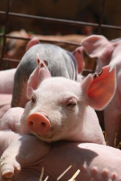 Cute Baby Pigs, Cute Piglets, Cute Baby Animals, Farm Animals, Animals And Pets, Funny Animals, Raza Yorkshire, Teacup Pigs, Show Cattle
