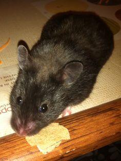 Aristotle, my friends cute hamster! Bear Hamster, Hamster Toys, Hamster Treats, Small Animals, Cute Little Animals, What Is Cute, Cute Hamsters, Rodents, Chinchilla