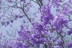 Estoy encariñándome mucho de las jacarandas!! 😆 #jacaranda #queretaro #arboles…