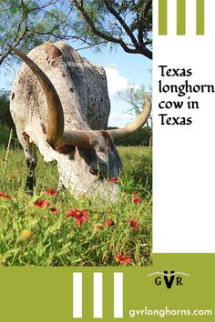 Texas longhorn cow. Visit us at GVRlonghorns.com for more on Texas longhorn cattle facts, blog, pictures, salebarn #gvrlonghorns #longhorns #texaslonghorncow Cows For Sale, Cattle For Sale, Longhorn Cow, Longhorn Cattle, Texas Farm, Texas Ranch, Calves For Sale, Green Valley Ranch, Raising Cattle