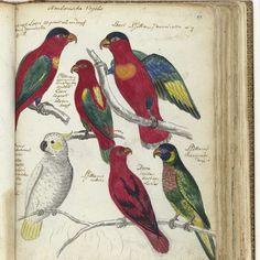 Ambonse vogels, Jan Brandes, 1784 - Rijksmuseum