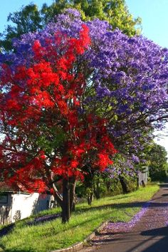 jacaranda and an illawarra flame tree Unique Trees, Colorful Trees, Trees And Shrubs, Flowering Trees, Beautiful Gardens, Beautiful Flowers, Cute Garden Ideas, African Tree, Flame Tree