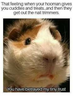Try to make sure that your beautiful guinea pigs have got the most desirable things in life. A large guinea pig cage, or run, not only helps make them more pleasurable to observe, but ensures they get the physical exercise that they need Cute Animal Memes, Cute Funny Animals, Funny Animal Pictures, Cute Baby Animals, Animal Humor, Baby Guinea Pigs, Guinea Pig Care, Baby Pigs, Guinea Pig Funny
