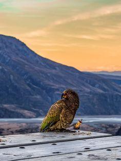 A Cheeky Kea, Nz's Alpine Parrot