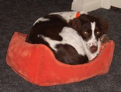 Brittany Spaniel Information and Pictures, Brittany Spaniels